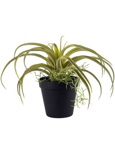 Tillandsia in Pot