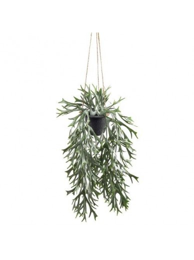 Stag Fern In Hanging Pot