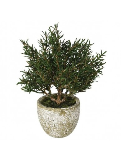 Rosemary Bush in Clay Pot